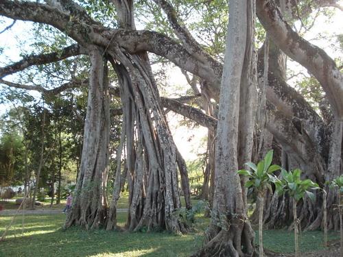 勐巴娜西珍奇园 走进树的大观园   勐巴娜西珍奇园位于芒市勇罕街